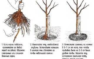 Как правильно пересадить яблоню осенью