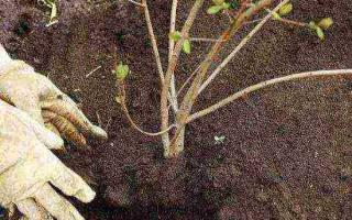 Как пересадить калину осенью