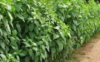 Как вывести топинамбур с огорода