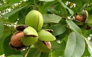Грецкий орех уход за деревом