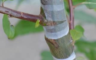 Прививка груши на яблоню осенью