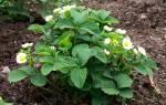Когда лучше сажать клубнику осенью или весной