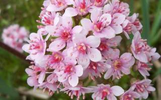 Дармера: описание и агротехника