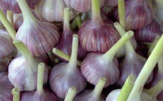 Как правильно вырастить чеснок в открытом грунте
