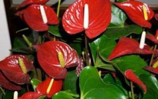 Красный антуриум: популярные сорта и уход в домашних условиях
