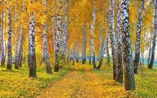 Посадка березы осенью