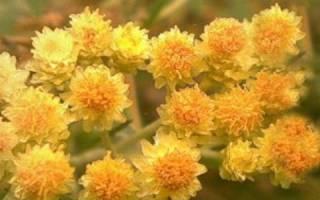 Цветы бессмертники можно ли ставить в доме