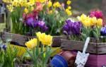 Как сажать тюльпаны весной?
