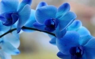 Синие орхидеи фаленопсис чем красят