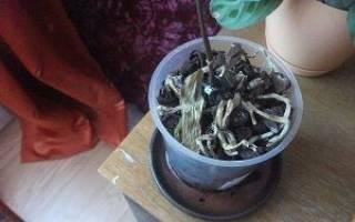 Что делать, если у орхидеи опали все листья?