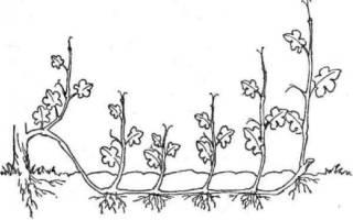 Как размножить крыжовник черенками осенью