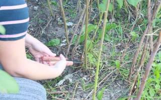 Подрезка ремонтантной малины осенью