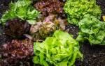 Технология выращивания салата в теплице