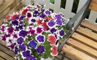 Характеристика и выращивание петуний серии «Хулахуп»