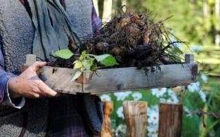 Когда выкапывать георгины осенью и как хранить их зимой?