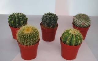 Родина комнатного кактуса