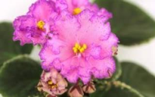 Можно ли пересаживать цветущую фиалку осенью