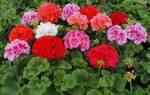 Розовые сорта пеларгонии
