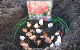 Когда нужно садить тюльпаны осенью