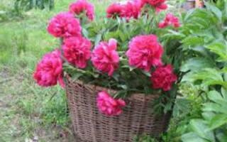 Как сохранить пионы до посадки весной