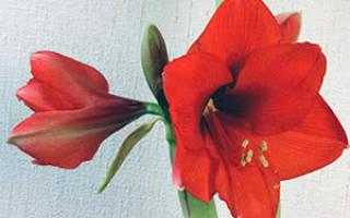 Амариллис садовый посадка и уход
