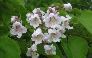 Макаронное дерево катальпа