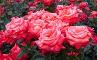 Чем обработать срезы роз после обрезки