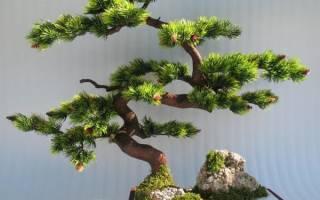 Как сделать банзай дерево своими руками