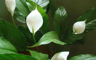 Почему у спатифиллума зеленые цветы
