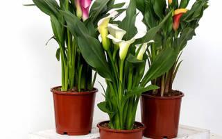 Комнатный цветок калла как ухаживать