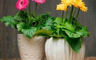Герберы: разновидности и выращивание в домашних условиях