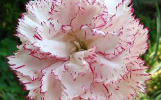 Гвоздика гренадин: описание и выращивание