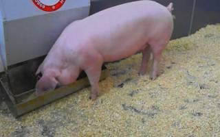 Сколько надо корма чтобы вырастить свинью