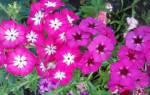 Цветы флоксы однолетние посадка и уход