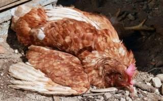 У курицы отнялись ноги что делать