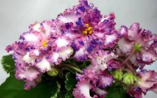 """Фиалка """"ЛЕ-Тристан"""": описание и выращивание"""
