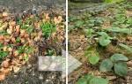 Как ухаживать за ремонтантной клубникой осенью