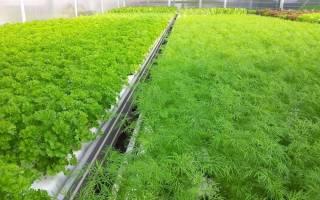 Сорта укропа для выращивания в теплице
