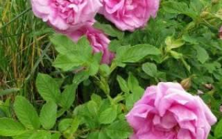 Роза ругоза посадка и уход