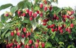 Малина штамбовая таруса малиновое дерево