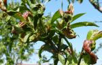 Болезни персиковых деревьев