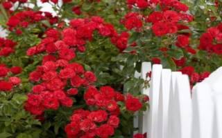 Как правильно обрезать плетистую розу осенью