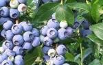 Как вырастить чернику на садовом участке