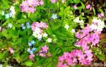 Незабудка: как выглядит и как выращивать?