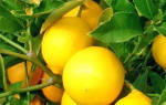 Лимон посадка и уход в домашних условиях