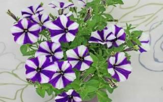 Сорта и выращивание синих и голубых петуний