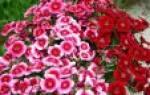 Розовые гвоздики: описание сортов, советы по выращиванию