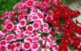 Гвоздика перистая: сорта и рекомендации по выращиванию