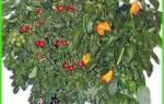 Комнатные овощи на подоконнике