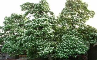 Дерево с большими листьями и длинными стручками